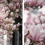 Best places in London to see Magnolia Blossom