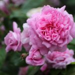 20 Great Rose Blogs: Experts You Need To Follow