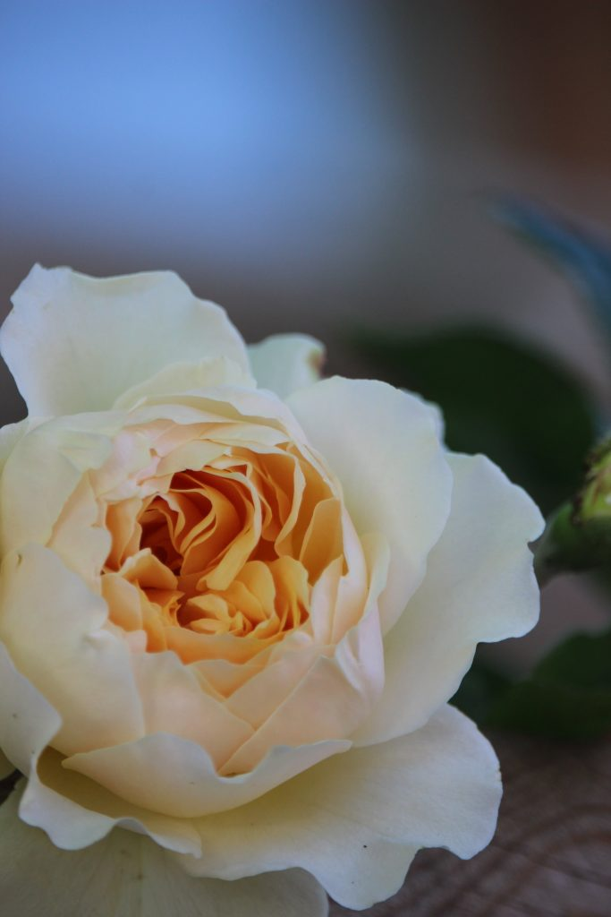 rose names, how roses are named, rose naming conventions, about roses