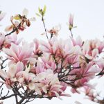 Where to see Magnolia Blossom in London