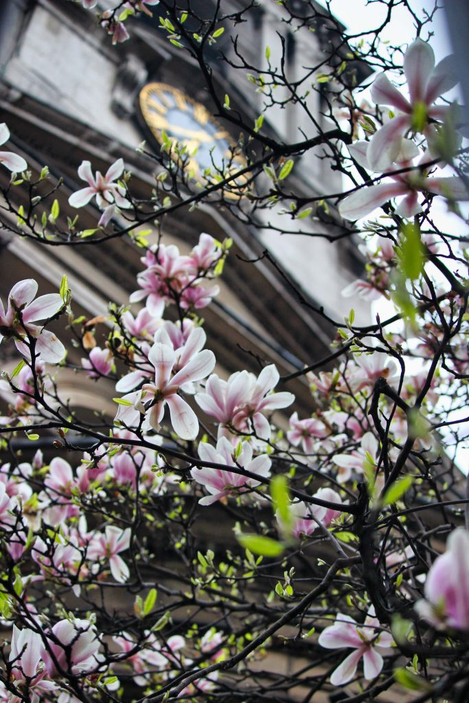 magnolia blossom in London, magnolia blossom in Notting Hill, magnolia Photography, pink magnolia, magnolia tree