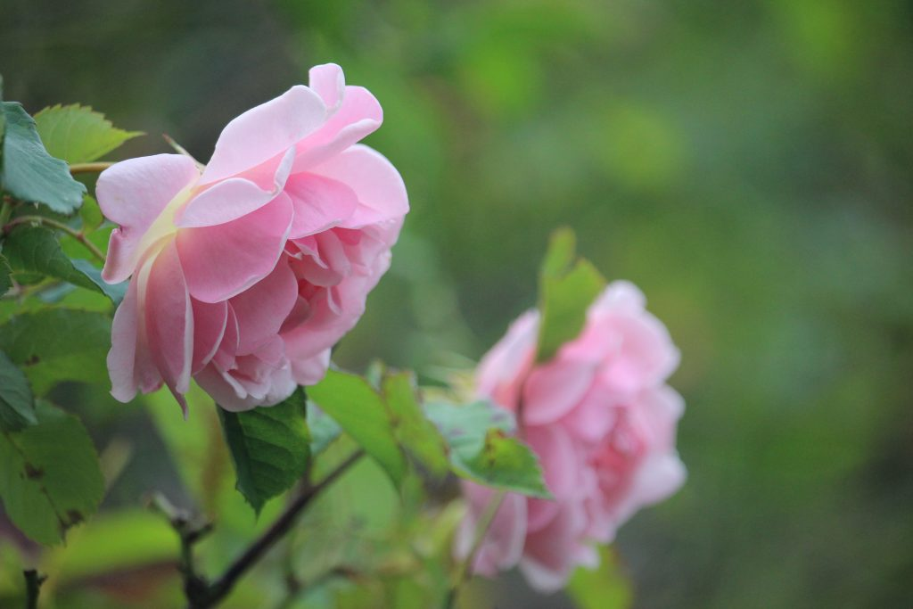 London rose gardens, where to see roses in London, pink roses London, garden roses in London parks